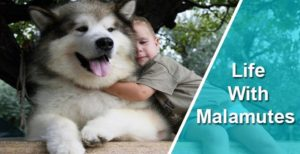 Life With Malamutes And Malamute Dog Breed Information Phil and niko are two malamutes living with a cat called milo and their their life with malamutes (@lifewithmalamutes) account has 381,000 followers on instagram, making them the social media platform's most popular. malamutes and malamute dog breed